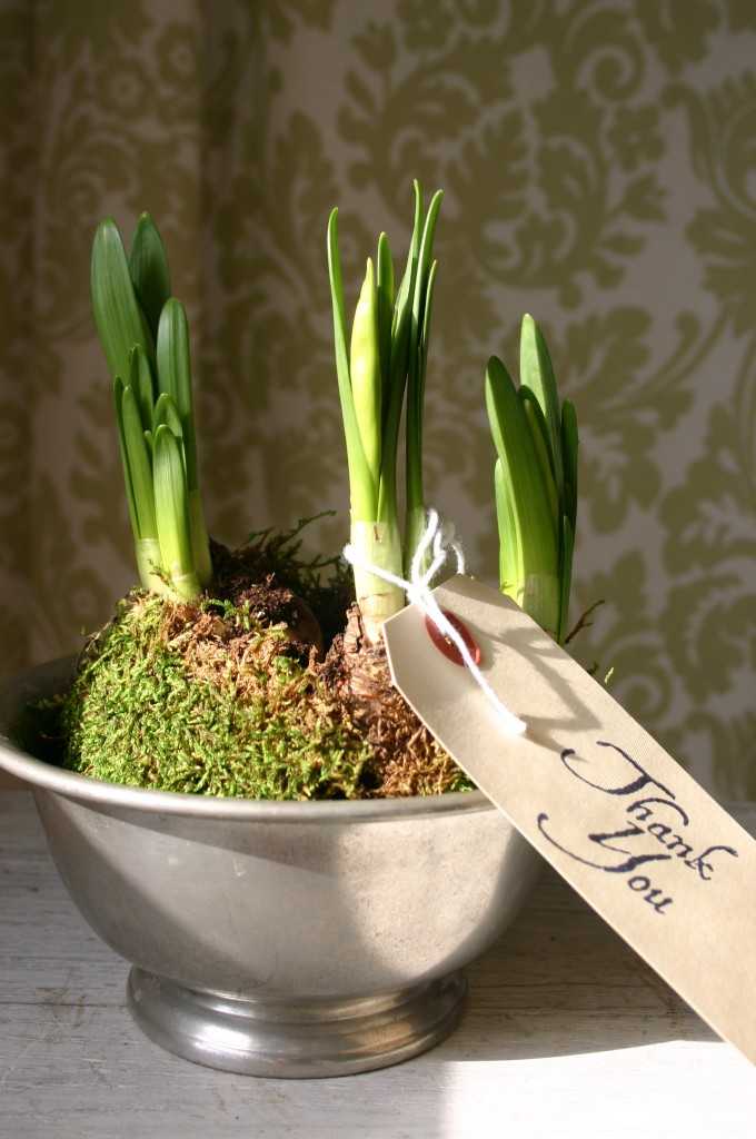 Daffodils transplanted to and old pewter bowl make a great gift.