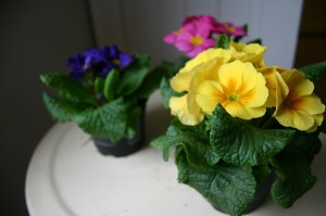 Potted Primrose at $0.88 each are always a good choice.