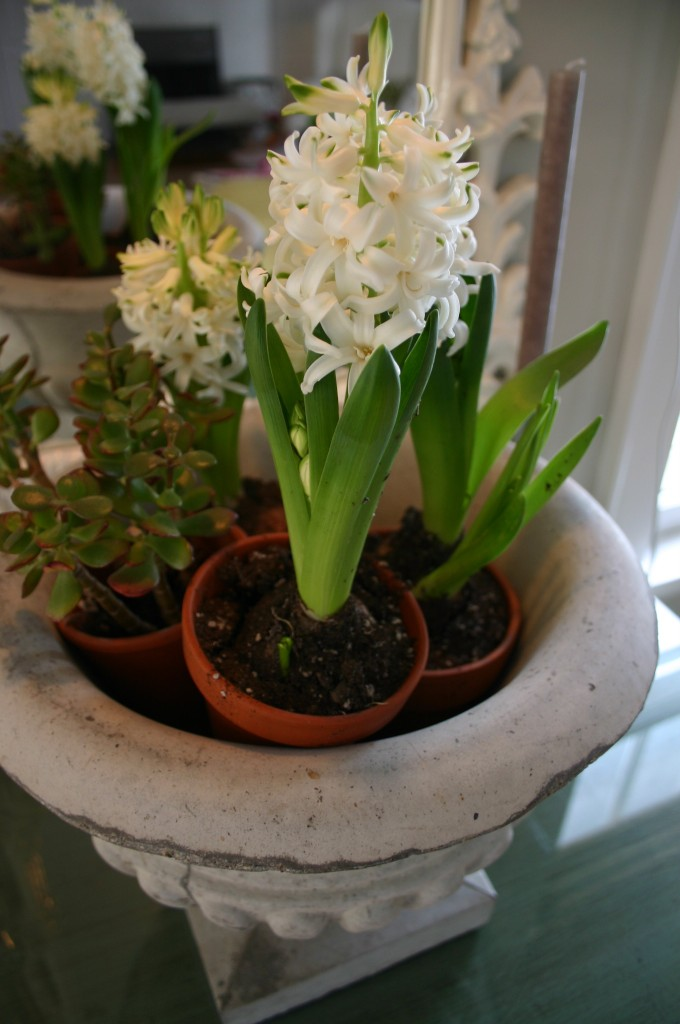 A mixture of Hyacinths and succulents, individually potted and nested inside of an urn.