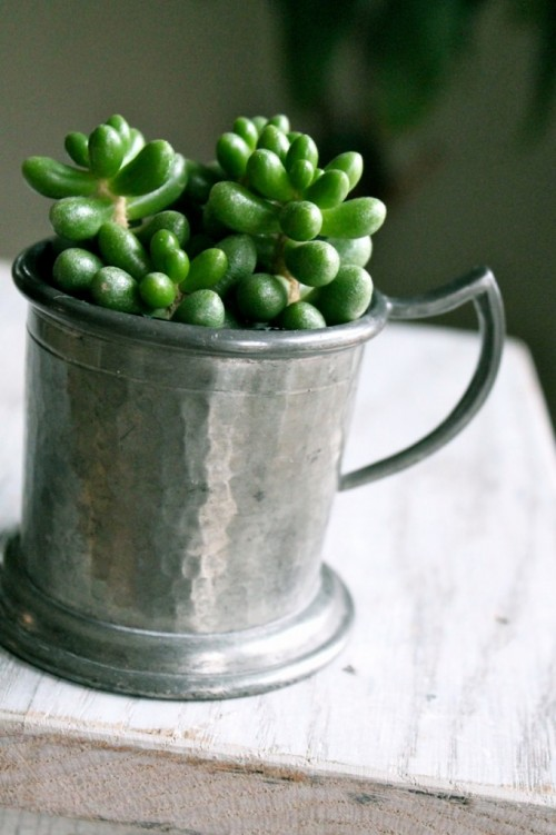 At less than 4-inches tall, this succulent plant in a small pewter cup (resale find, less than $2.00) makes an easy hostess gift. It can go right on the table or